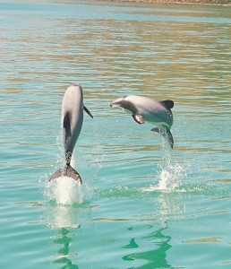 Endangered Hector's Dolphins jump into the air at Akaroa Harbour, New Zealand