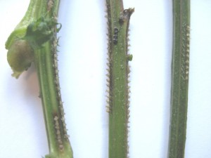 Closeup of stems with hopper egg notches