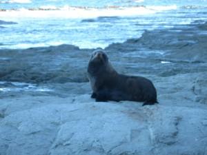 Seals at Kaikoura Peninsula, New Zealand