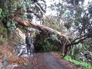 Andrew J. Wharton under huge tree across our driveway in Whakatete Bay, New Zealand