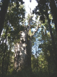Waipoua Forest's King of the Forest, Te Matua Ngahere