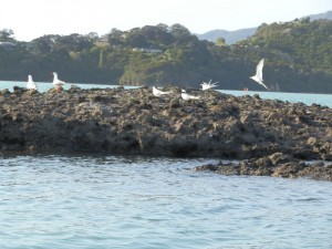 Seagulls and Terns in Coromandel Harbour