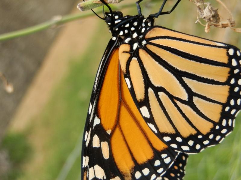 Monarch Butterfly Female
