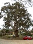 The Big Tree in Victoria, Australia, near Castlemaine
