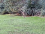 kangaroo hopping (actually, jumping) away after a close enounter with our car