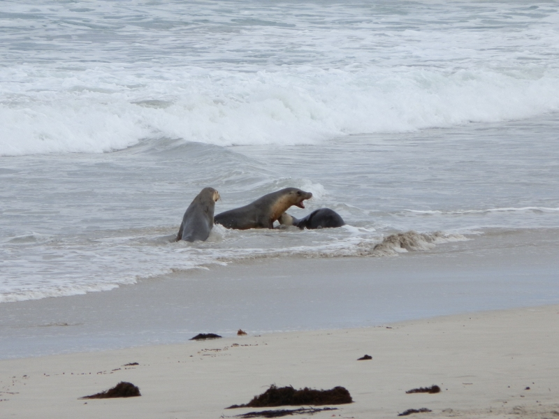 Mating Sea Lions at Seal Bay, Kangaroo Island