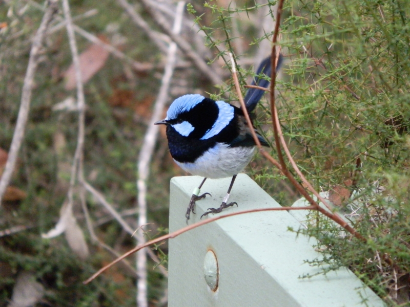 Kangaroo Island bird: Superb Fairywren, aka Superb Blue Wren