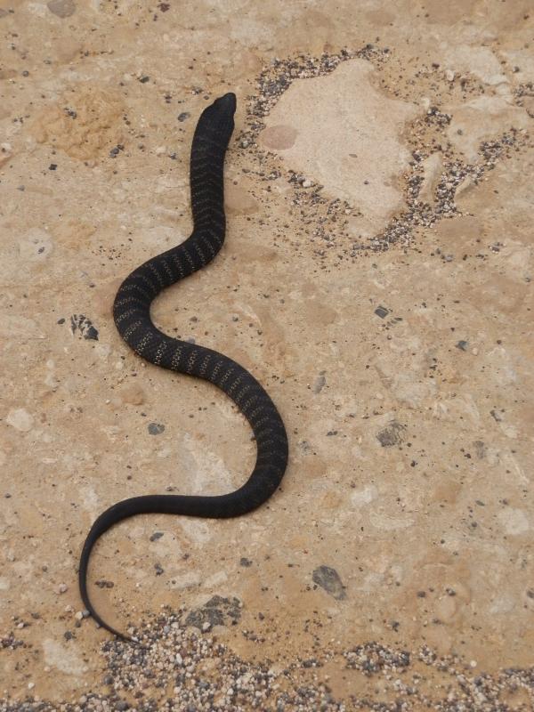 Kangaroo Island Tiger Snake