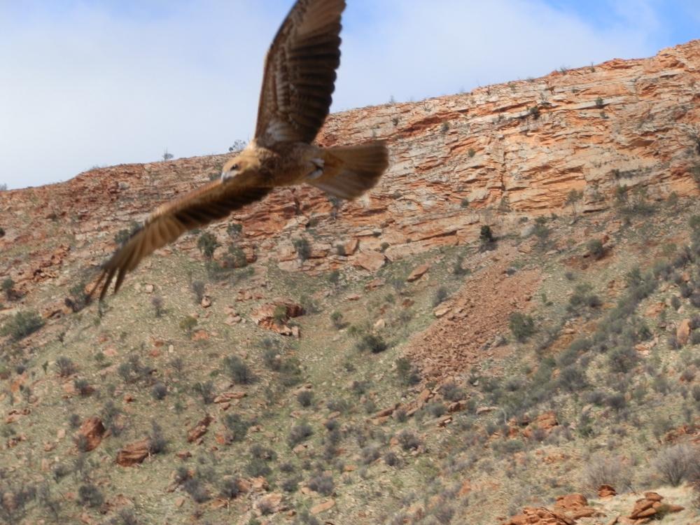 Desert Park bird show, Alice Springs, Australia