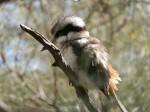 Desert Park's Kookaburra, Alice Springs